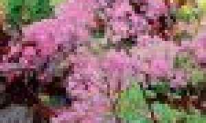 Василистник: сорта и виды с фото и названием, описание, размножение, лечебные свойства