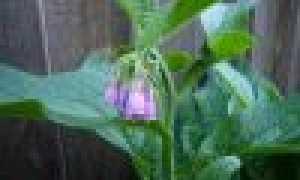 Леокарпус: где растет, как выглядит, можно ли есть, описание и фото