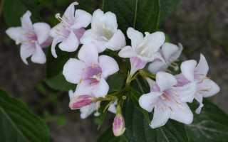 Как размножить вейгелу черенками, отводками, семенами, сроки, фото, видео