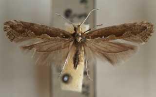 Капустная моль: чем опасна, как бороться народными способами и инсектицидами