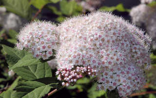 Спирея Невеста: описание, посадка и уход, размножение, фото