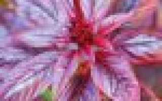 Амарант: описание и фото