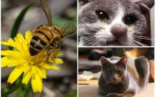 Кота укусила пчела: что делать