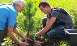Как и когда можно посадить сосну: посадка и уход за саженцам на участке