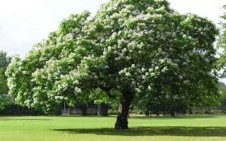 Катальпа прекрасная: описание, выращивание в Подмосковье, фото дерева