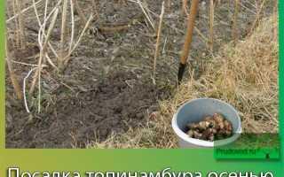Посадка топинамбура осенью: сроки, уход, обрезка, как размножить