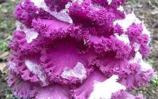 Капуста декоративная: выращивание из семян, когда сажать