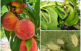 Тля на персике: чем обработать, как бороться, как избавиться