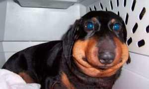 Собаку укусила пчела: фото, укус в нос, в лапу, что делать