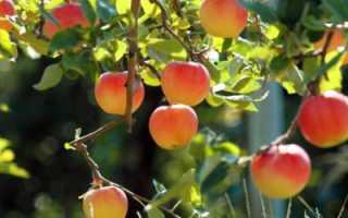 Парша на яблоне: как бороться летом, весной, осенью