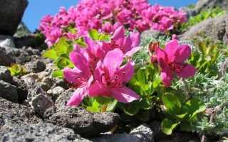 Рододендрон камчатский: описание, посадка и уход, фото