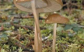 Ксерула: как выглядят грибы, где и как растут, съедобны или нет