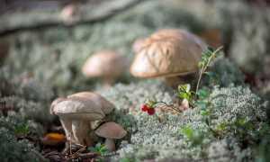 Подберезовик обыкновенный (обабок березовый): где растет, как выглядит
