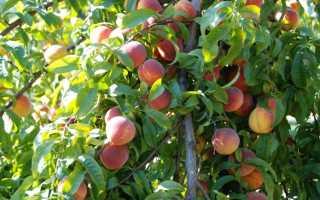 Обрезка персика весной, летом, схема, видео для начинающих, сроки