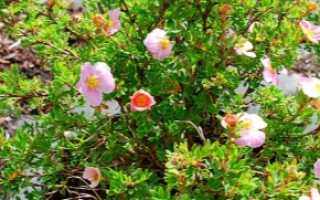 Лапчатка Пинк Бьюти или Лавли Пинк (Pink BeautyLovely Pink): описание, фото