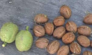 Как посадить грецкий орех: выращивание в Подмосковье, Сибири, на Урале