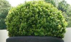 Живая изгородь из самшита: фото, посадка, на каком расстоянии сажать