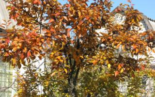 Удобрение для груши осенью: чем подкормить в зиму