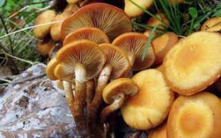 Опята в Саратовской области: где растут, когда собирать грибы