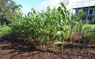 Посадка кукурузы семенами в открытый грунт на дачном участке