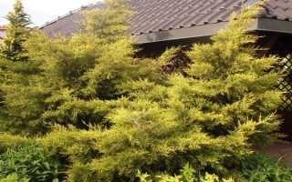 Можжевельник Куривао Голд (Kuriwao Gold): описание, отзывы, фото в дизайне сада