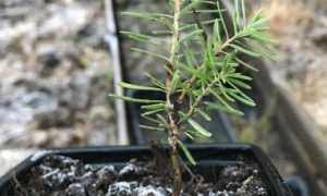 Пихта черенками: как вырастить дерево из веточки, видео
