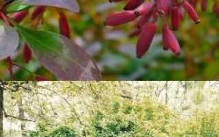 Барбарис кустарник: полезные свойства, как использовать, противопоказания