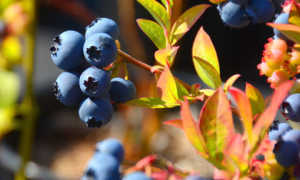 Почему у голубики краснеют листья: после посадки, что делать, как лечить