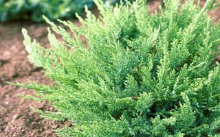 Можжевельник Тамарисцифолия (Tamariscifolia): описание, посадка и уход, фото