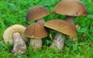 Как приготовить обабки на зиму: рецепты приготовления грибов с фото