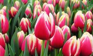 Тюльпаны: можно ли сажать весной, зацветут или нет, в каком месяце сажать, правила ухода