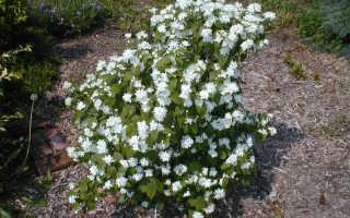 Чубушник (жасмин) садовый Миннесота Сноуфлейк (Minnesota Snowflake): посадка и уход, выращивание
