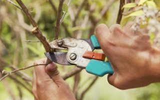 Обрезка шелковицы (тутовника) летом, осенью, весной: схемы, видео