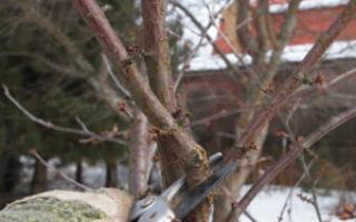 Обрезка черешни весной и летом: формирование кроны, схемы, видео