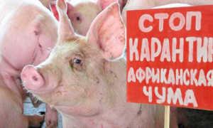 Классическая чума свиней: признаки заболевания, фото