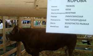 Клички телят: как назвать бычка, примеры имен
