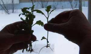 Хризантема из букета: как укоренить черенками, посадка и уход в домашних условиях