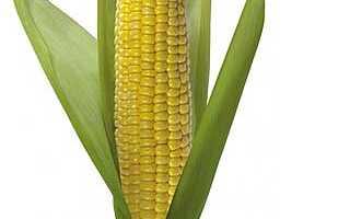 Кукуруза: польза и вред для здоровья, калорийность, выращивание