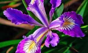 Цветы, похожие на ирисы: фото с названием и описанием