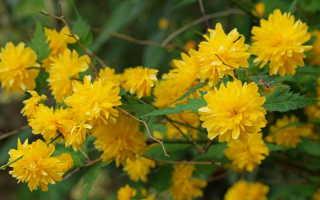 Керрия японская Пленифлора (Pleniflora): посадка и уход, зимостойкость, отзывы