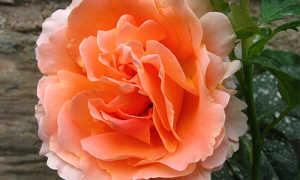 Роза плетистая Полька: отзывы, фото и описание