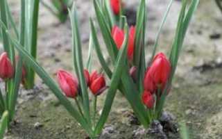 Карликовый тюльпан: описание, сорта, посадка и уход, наличие в Красной книге, фото