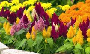 Целозия: когда и как сажать на рассаду, как выращивать, как собрать семена