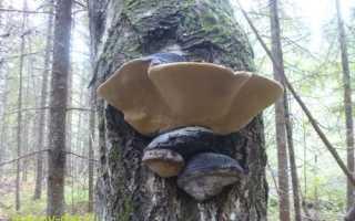 Трутовик ложный (дубовый, Phellinus igniarius): как выглядит, где и как растет, съедобный или нет, применение