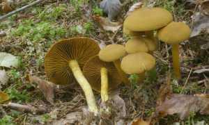 Паутинник шафрановый (каштаново-коричневый, Cortinarius croceus): как выглядит, где и как растет, съедобный или нет