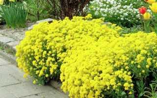 Алиссум скальный: выращивание из семян