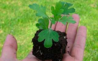 Хризантема килеватая: как выращивать из семян, когда сажать, посадка и уход, фото