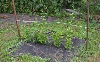 Как размножить лимонник: черенками, семенами, отводками, видео