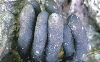 Ксилярия: съедобность, как выглядит, где растет, как отличить, фото