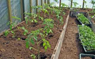 Когда высаживать помидоры в теплицу на Урале